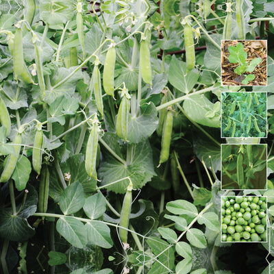 Pea Sugarsnap Climbing Seeds. Sugar Snap Peas. Stringless juicy pea pods