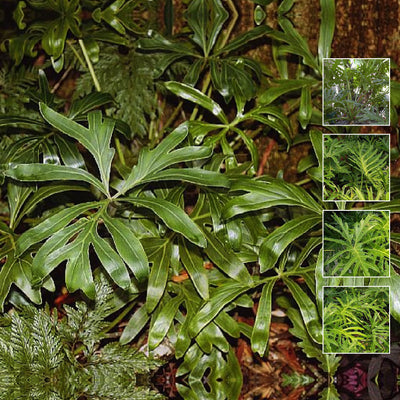 PHILODENDRON Adamantinum X Seeds. RARE Amazonian species. Foliage Plant