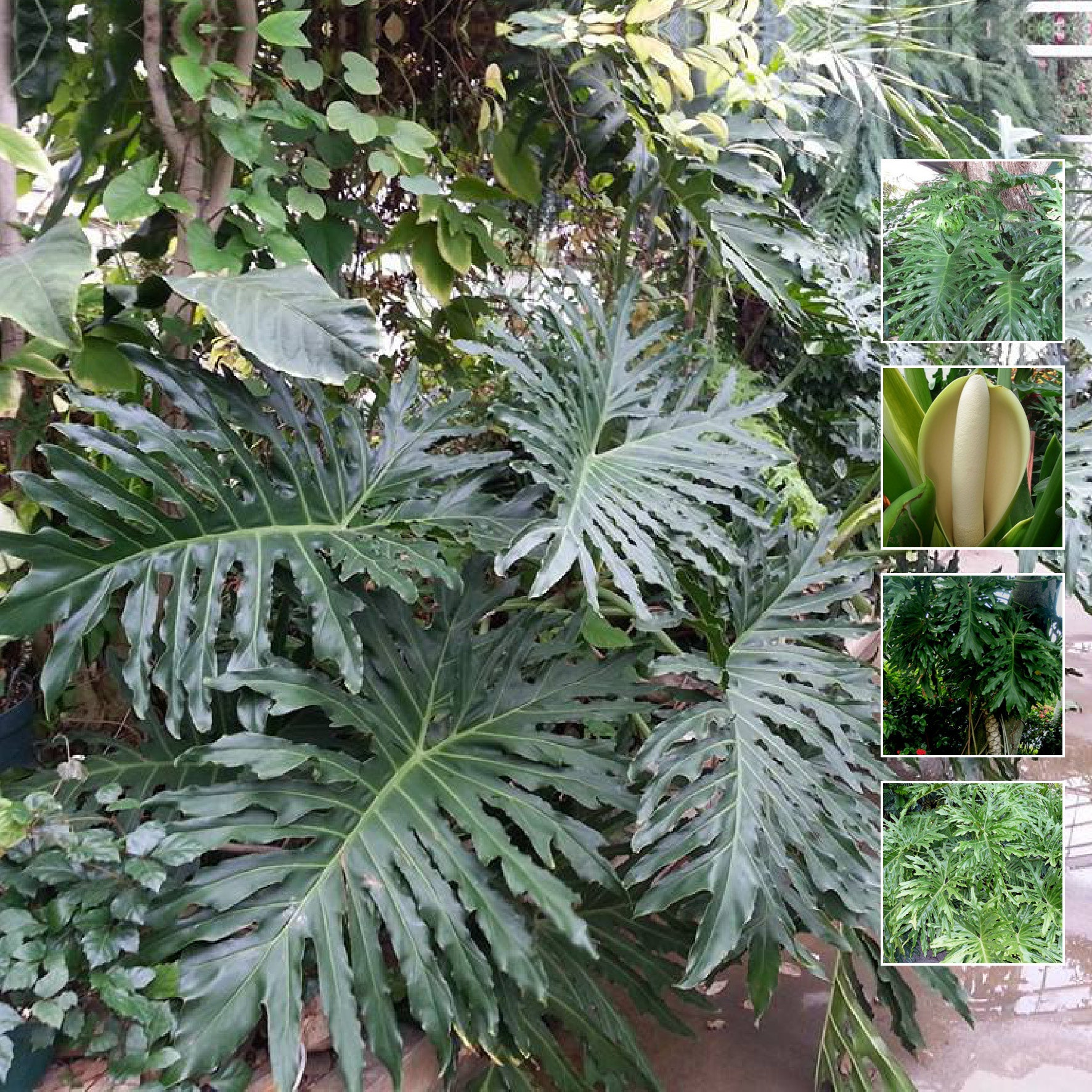 Philodendron Lundii Seeds. Exotic hardy landscape foliage plant. Selloum