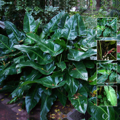 Philodendron Tuxla x6 Seeds. Rare climbing hybrid philodendron variety. Glossy