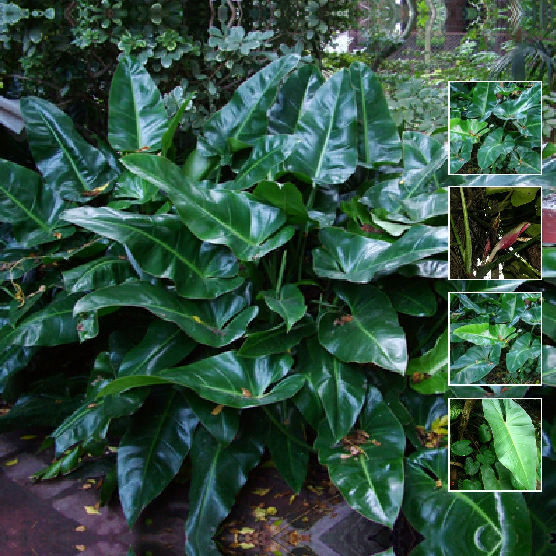 Philodendron Tuxla Seeds. Rare climbing hybrid philodendron variety. Glossy