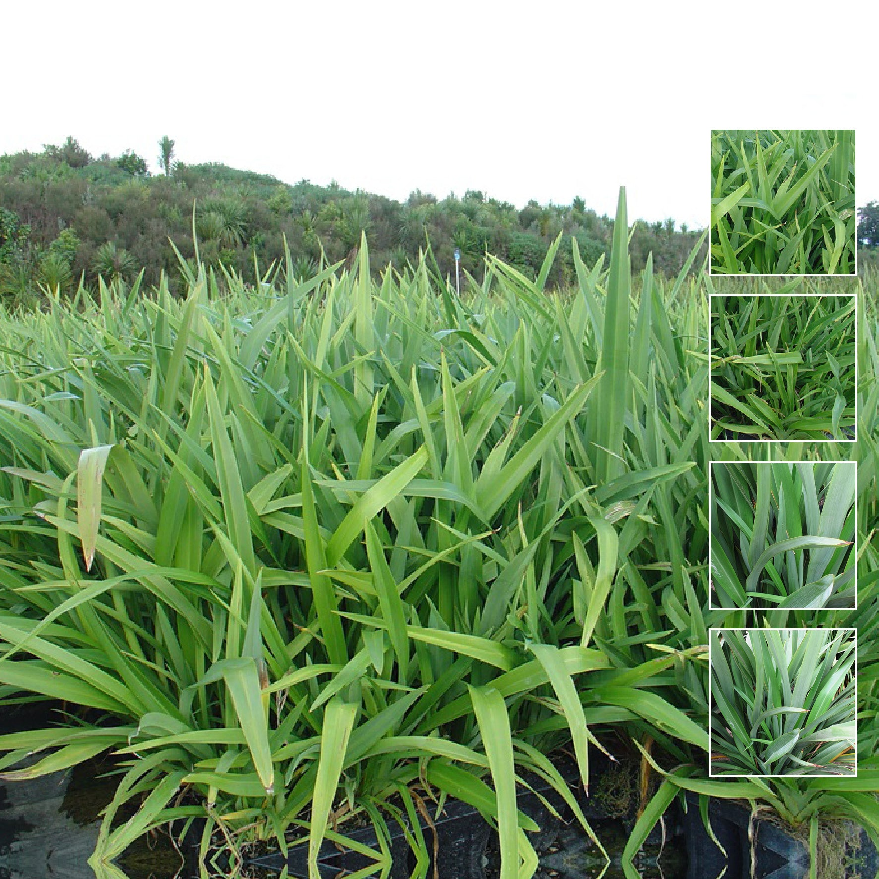 PHORMIUM Cookianum Dwarf Green Seeds. Compact flax for designer landscapes