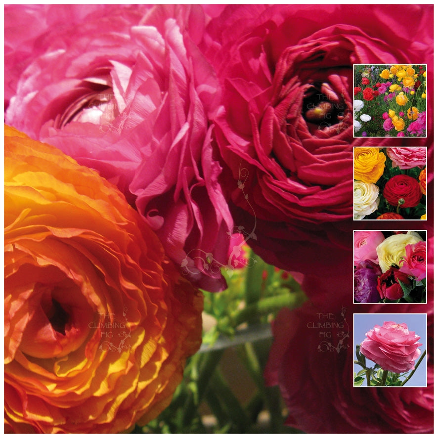 Ranunculus Chateau Double Mix Seeds