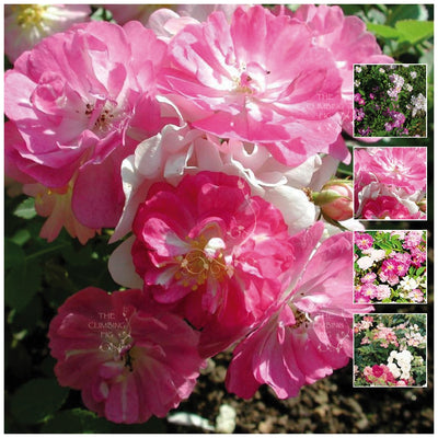Rosa Chinensis Angel Wings Rose Seeds