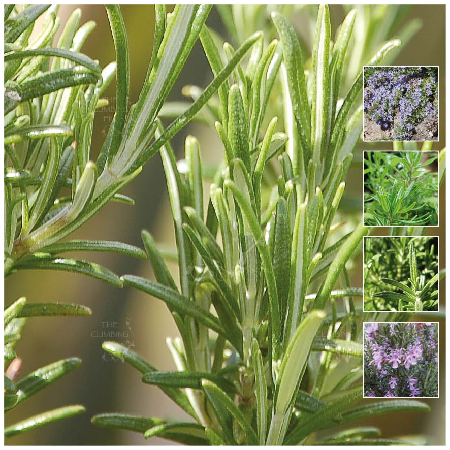ROSEMARY Pink Sky Mauve Seeds. Premium fragrant herb variety