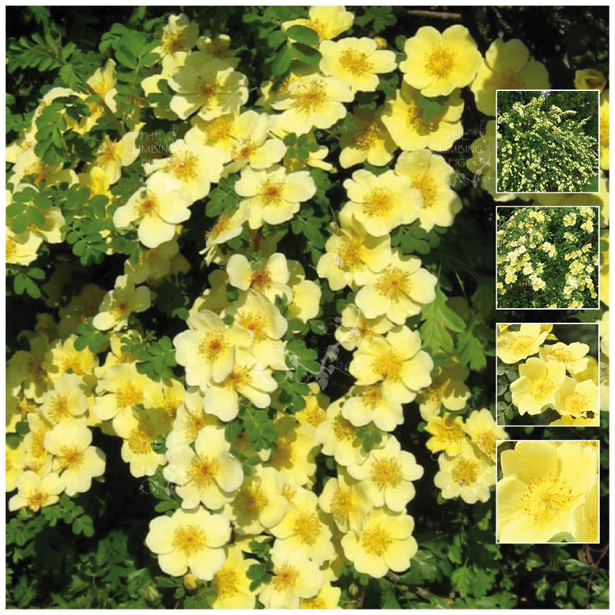 Rosa Xanthina Canary Bird Rose Seeds
