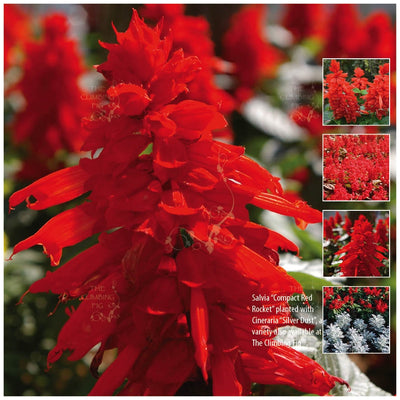 Salvia Compact Red Rocket Seeds