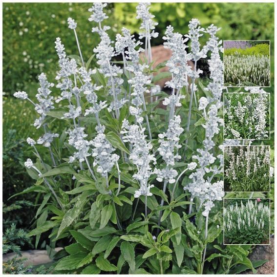 Salvia Victoria White Seeds