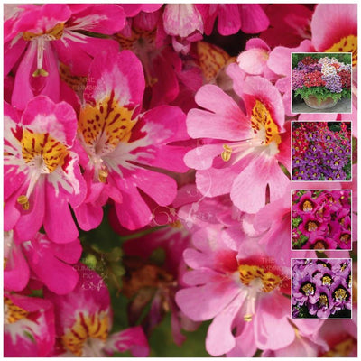 Schizanthus Angel Wings Ultra Seeds