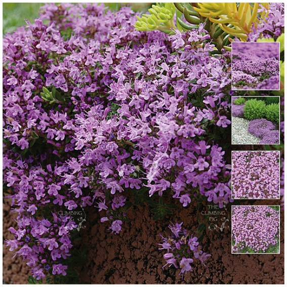 Creeping Thyme MAUVE AVALANCHE Seeds. Mauve flowering groundcover