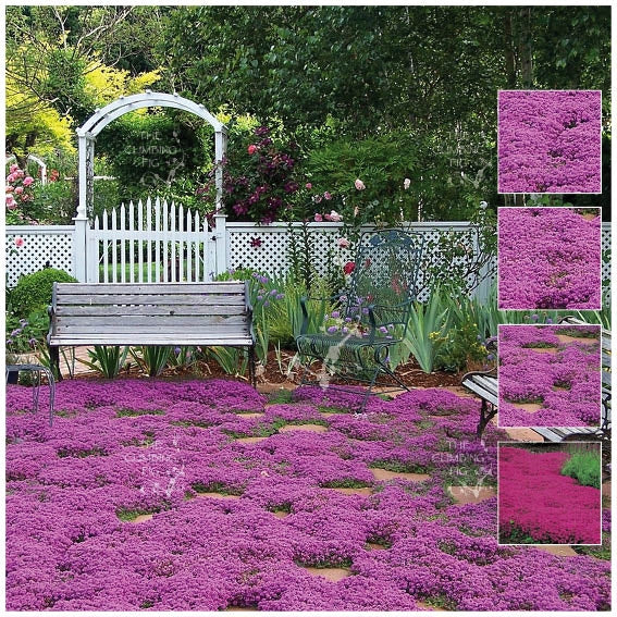 Creeping Thyme PURPLE RAIN Seeds. Purple flowering perennial groundcover