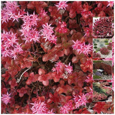 Sedum Dragon Tears Seeds