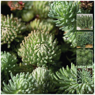 Sedum Forsterianum Oracle Seeds