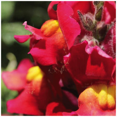 Snapdragon Kamikaze Red Yellow Seeds