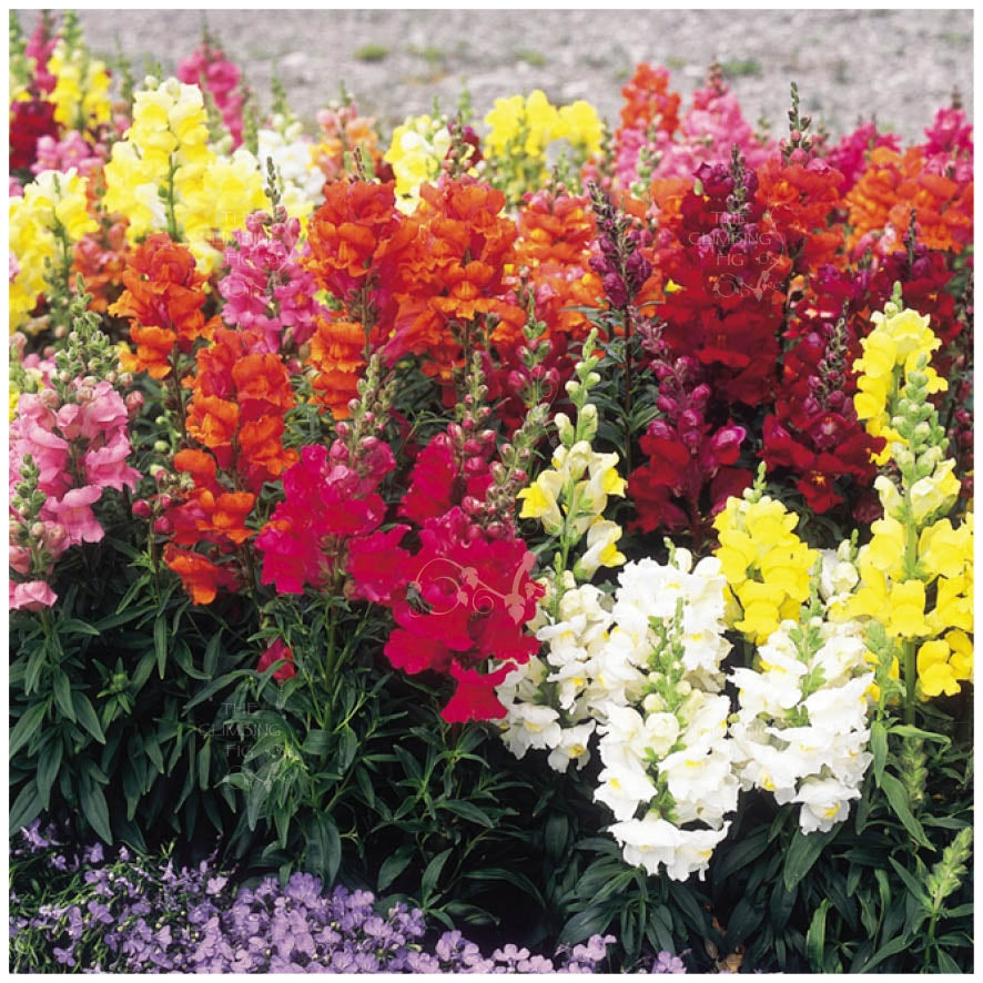 Snapdragon Shapeshifter Mix Seeds