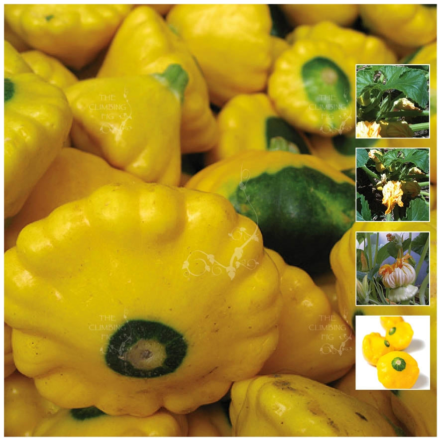 Squash Button Scallopini Seeds