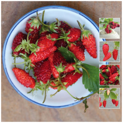 Strawberry Alpine Dessert Seeds