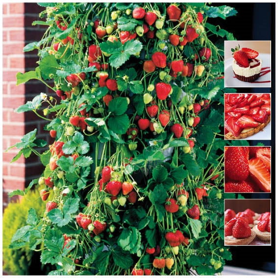 STRAWBERRY Mimi's Trail Blazer Seeds. Heavy yielding hybrid trailing variety.