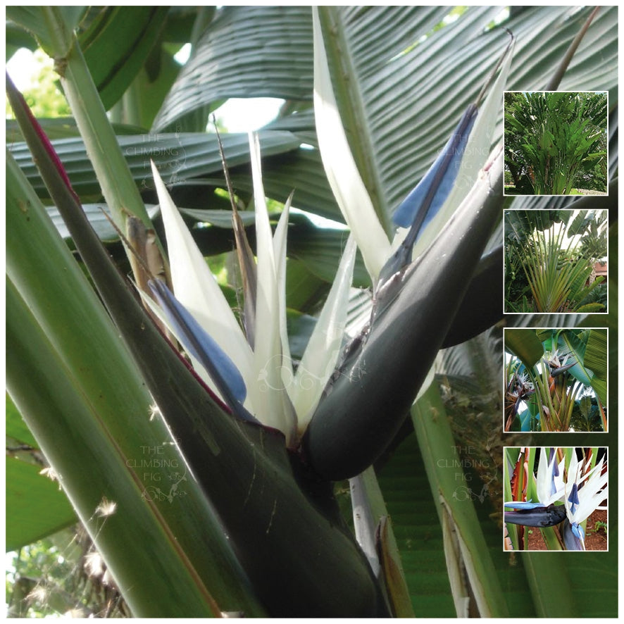 Strelitzia Nicolai Giant White Bird Of Paradise DM1 Seeds
