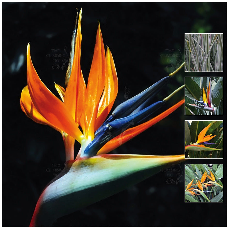 Strelitzia Reginae Bird Of Paradise TCF3 Seeds