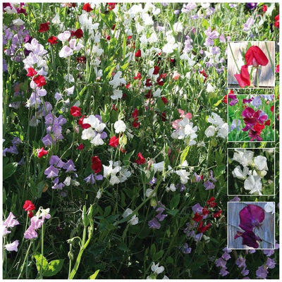 Sweet Pea Fragrant Pastel Seeds