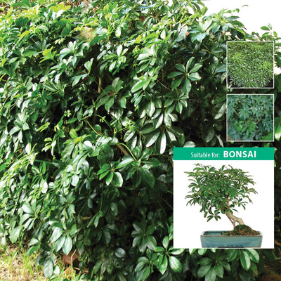 SCHEFFLERA Dwarf Arboricola x20 Seeds. Dwarf umbrella tree. Suitable for bonsai