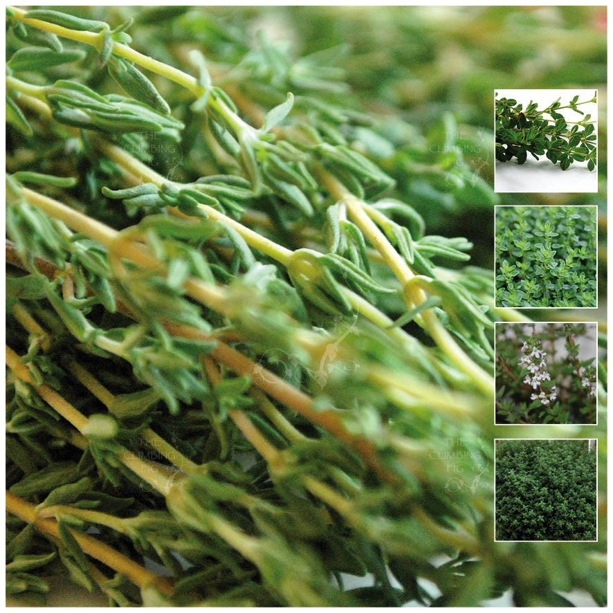 THYME Evergreen Wonder Seeds. Premium perennial groundcover herb