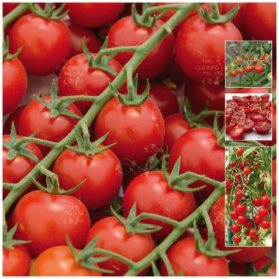 Tomato Tommy Cherry Fountain Seeds