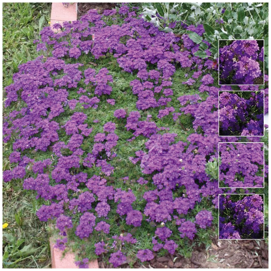 Verbena Imagination Seeds. Trailing ground cover. Bright purple flowers