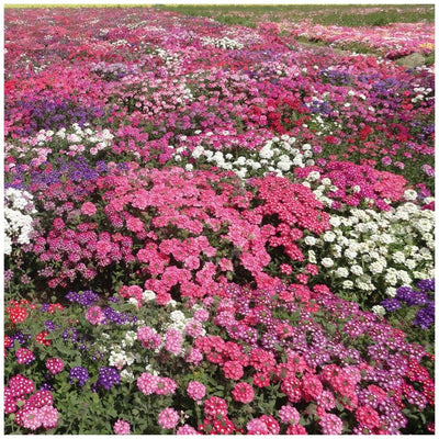 Verbena Serenity Mix Seeds