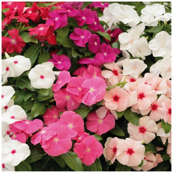 Vinca BoomBox Seeds. Popular red, pink, white, purple & coral flowers mix