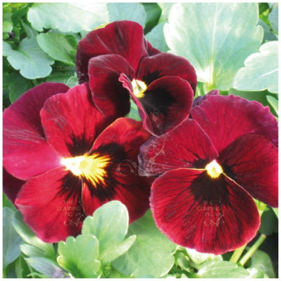 Viola Arkwright Ruby Seeds