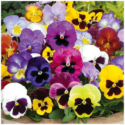 Viola Swiss Giants Velvet Mix Seeds