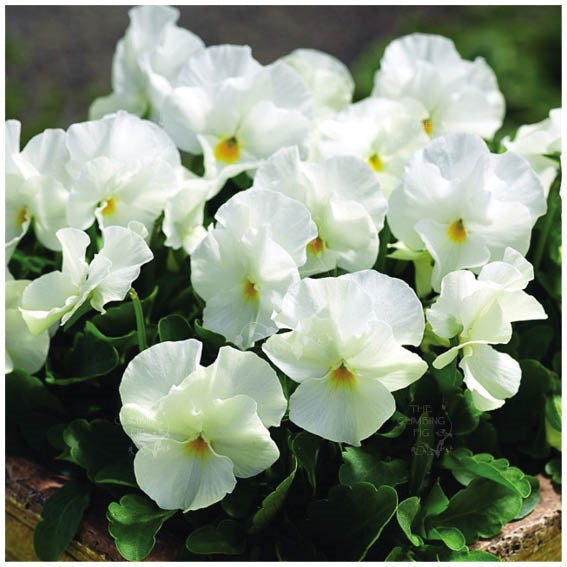 Viola White Perfection Seeds
