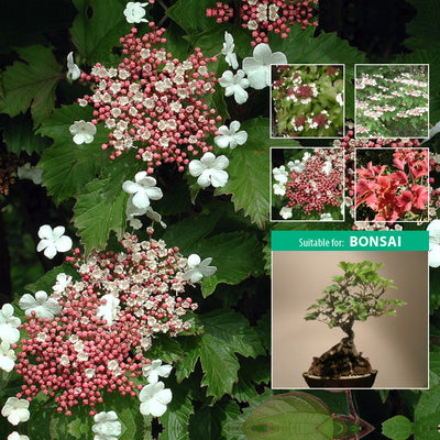 VIBURNUM SARGENTII Hiro Seeds. Flowering shrub small tree. Autumn colour