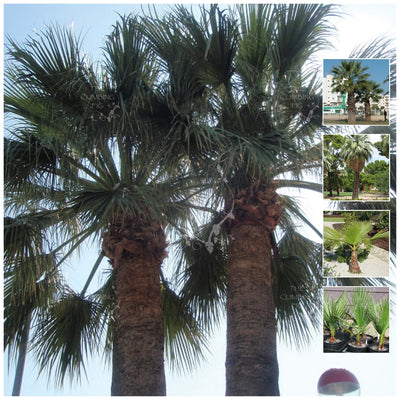 Washingtonia Filifera California Fan Palm Seeds