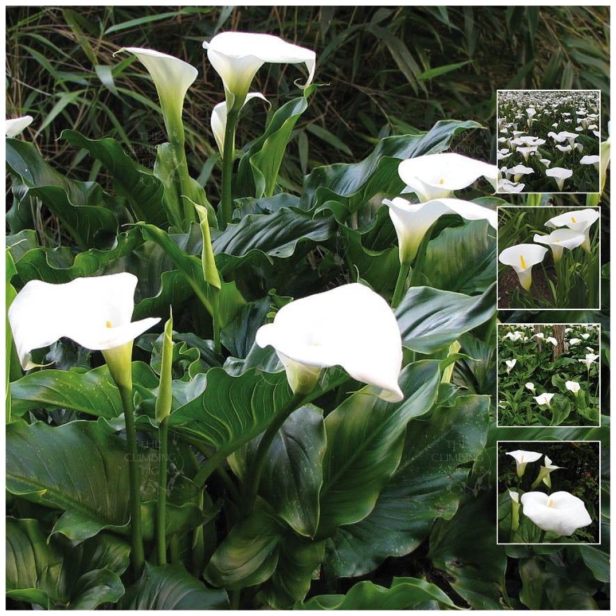 Zantedeschia Angel White Calla Lily Seeds