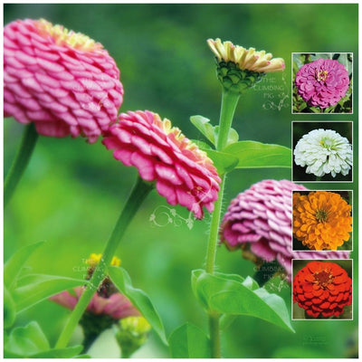 Zinnia Cut Flower Classic Seeds