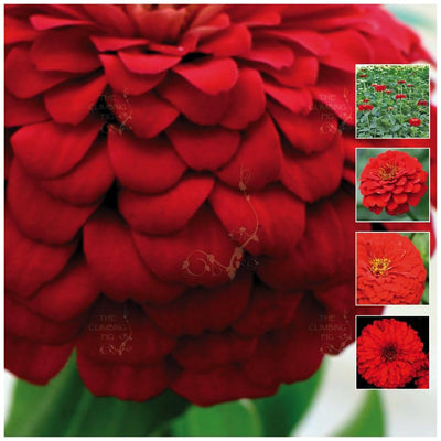 Zinnia Double Scarlet Seeds