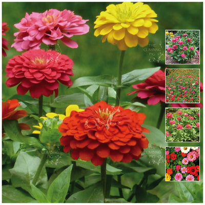 Zinnia Dwarf Multi Colour Mix Seeds