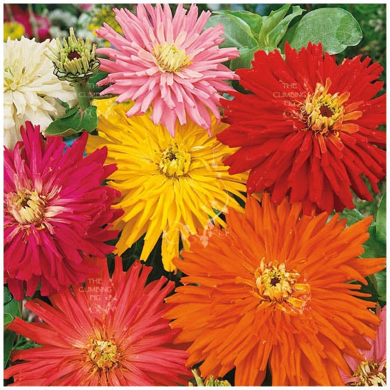 Zinnia Happy Talk Seeds