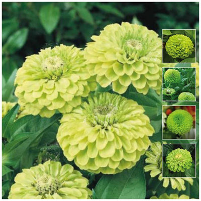 Zinnia Envy Lime Green Seeds