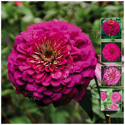 Zinnia Regal Pink Rose Seeds