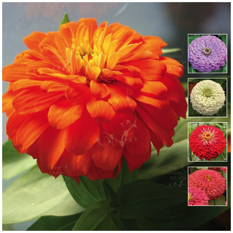 Zinnia CA Ultra-Giants Seeds