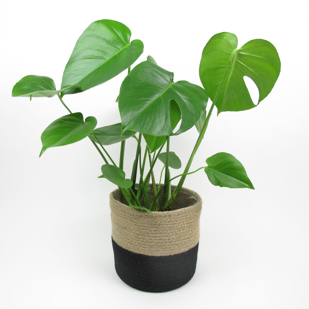 Cheese plant in basket