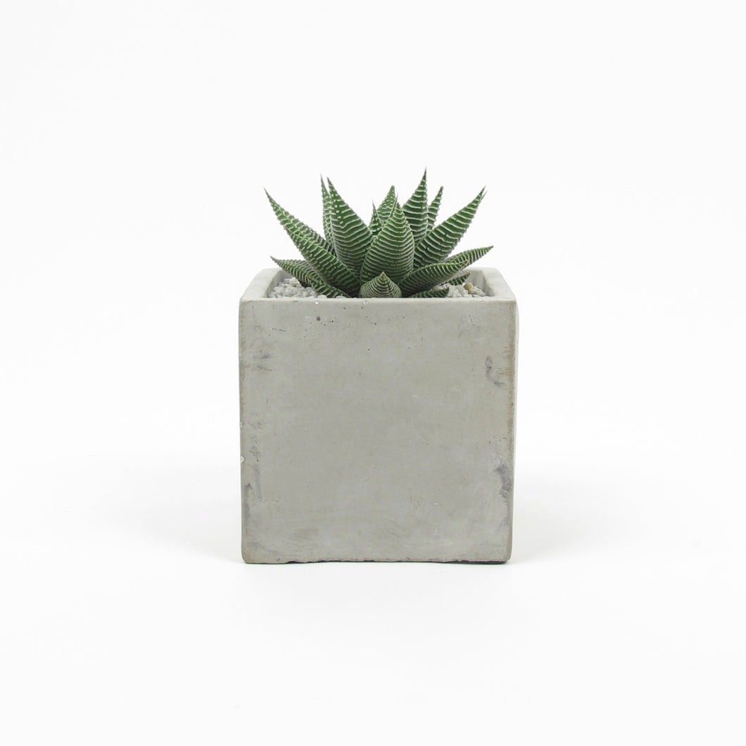Spider white in square concrete pot