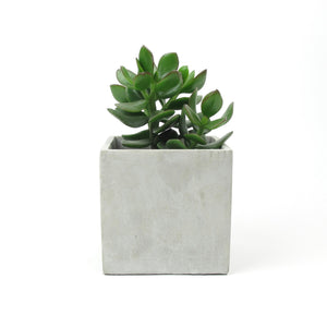 Jade plant in concrete pot
