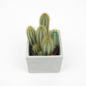 Cactus One in concrete