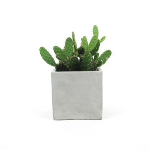 Cactus two in concrete pot