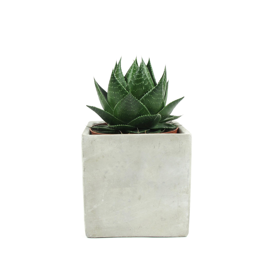 Aloe cosmos in square concrete pot